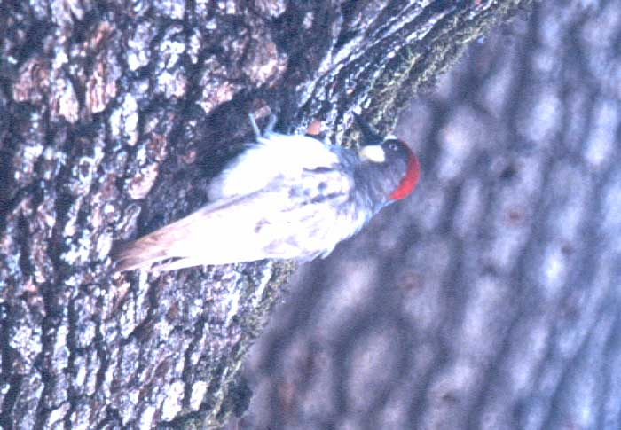 Acorn Woodpecker by Rich Stallcup 2004