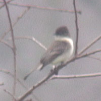 Eastern Phoebe 17 January 2005, Cosumnes River Preserve, Sacramento County, California