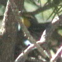 Grace's Warbler, May 31, 2004, Chimney Peak Campground, Tulare County, California