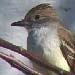 Nutting's Flycatcher, Santa Cruz CA