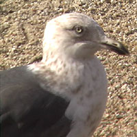 Slaty-backed Gull, Venice Beach, Half Moon Bay, San Mateo County, California 4 February 2006