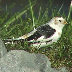 Snow Bunting, Clifton Court Forebay 6 March 2004 Leslie Lieurance
