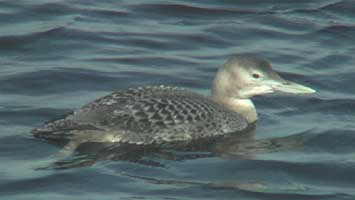 Yellow-billed Loon videotaped on 19 November 2006 at Pescadero Creek & Hwy 1 in California