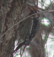 Yellow-bellied Sapsucker, 30 December 2004, Kern River Park, Kern County